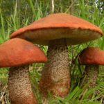 а в траве выстраивали круги рослые ребята — белые ножки, оранжевые шляпы