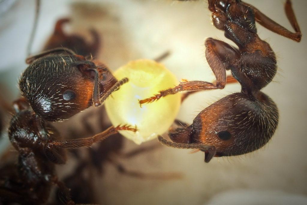 муравей нянька