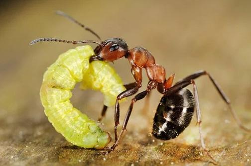 Сознание к Киру пришло вместе с вопросом: «Когда закончится этот сон?» Вопрос ушёл сам. Рыжий по-прежнему крепко держал Кира в жвалах. От безысходности Киру захотелось заплакать, но тут он увидел рядом муравья несущего жирную гусеницу. «По сравнению с гусеницей я совсем маленькая добыча! Рыжий про меня забудет, как только принесет в кладовую…», — успокоил себя Кир.